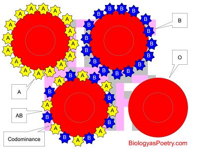 Codominance Biology As Poetry