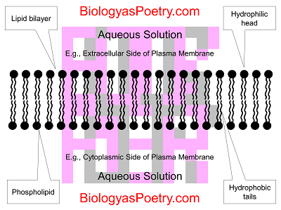 ap biology fluid mosaic model essay Describe the fluid-mosaic model of a plasma membrane discuss the role of the  membrane in the movement of materials through it by each of the following.