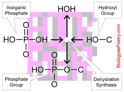 Inorganic Phosphate Phosphate Group...