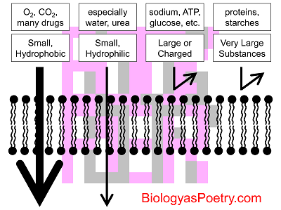 permeability of the plasma membrane materials Plasma membrane isolationall plant materials the proton permeability of the plasma membrane lipid vesicles was also significantly lower compared with model.