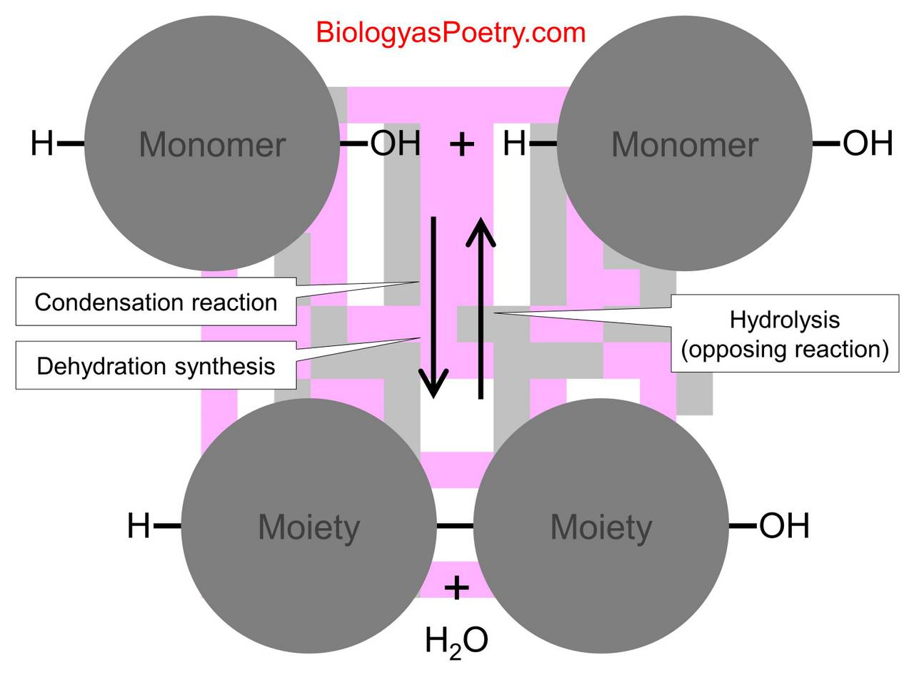 deffernces between hydrolysis and dehydration sythesis